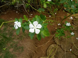 The white flowers
